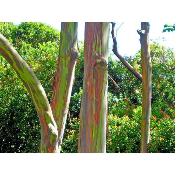Graines Eucalyptus Deglupta (Eucalyptus Arc en ciel)