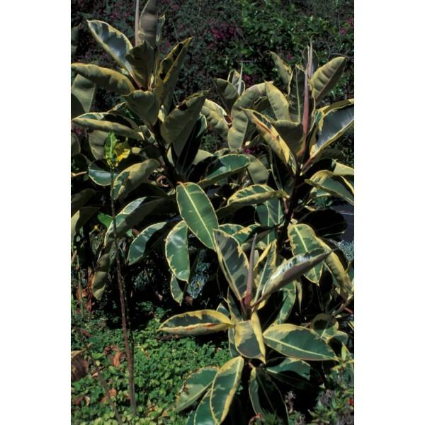 Graines Ficus Elastica Decora (Graines Figuier Élastique, Graines Figuier Caoutchouc)