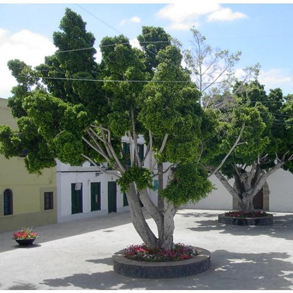 Graines Ficus Benjamina (Graines Figuier Pleureur)