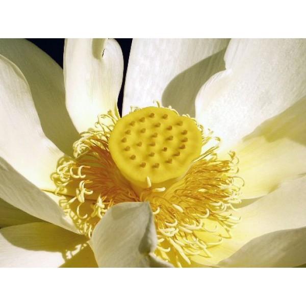 Graines Lotus Jaune d'Amérique du Nord (Graines Nelumbo Lutea) sur Rarexoticseeds.com
