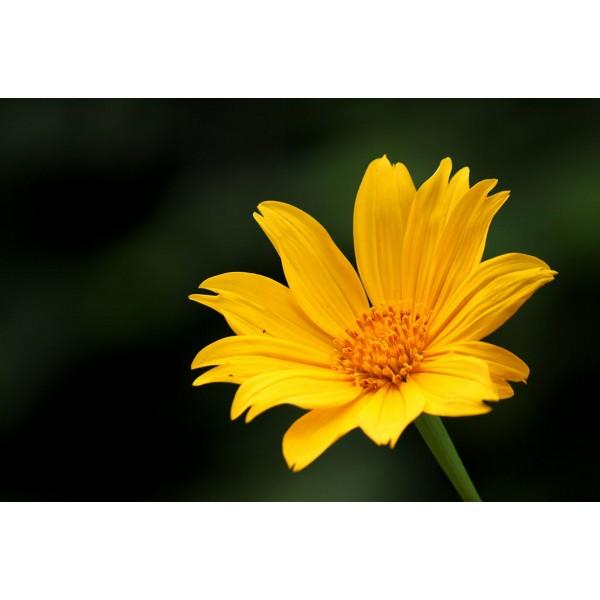 Graines Tithonia Diversifolia (Graines Tournesol Mexicain)