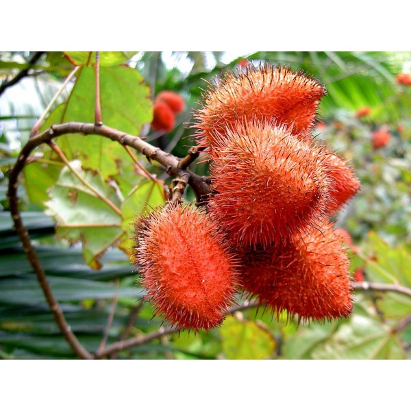 Graines Bixa Orellana (Arbre rouge à lèvre, Urucum, Roucou)