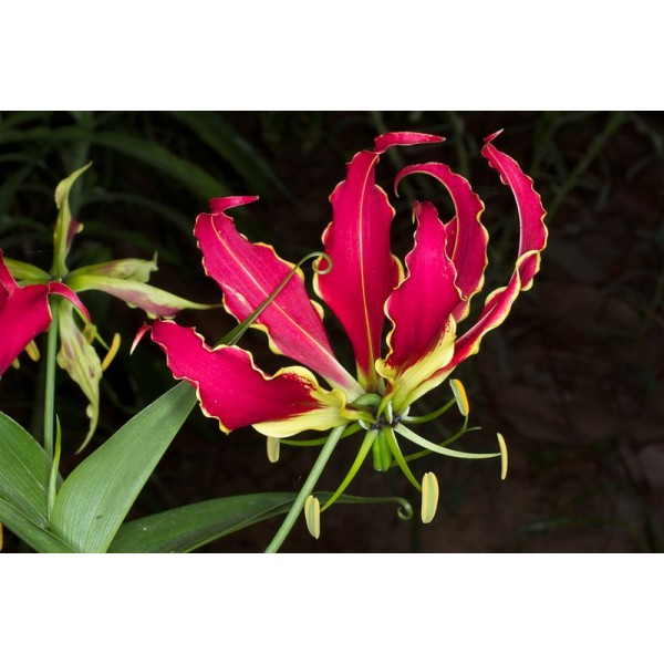 Graines Gloriosa Superba