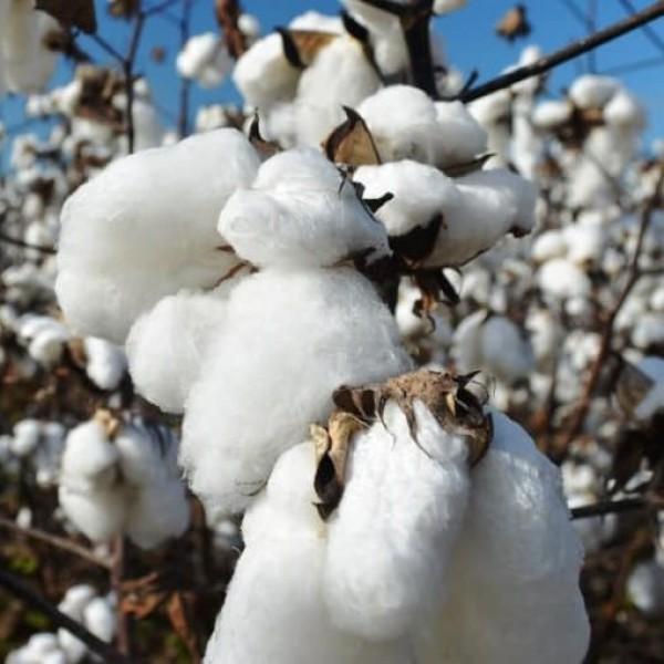 Graines Gossypium Herbaceum (Graines Cotonnier)
