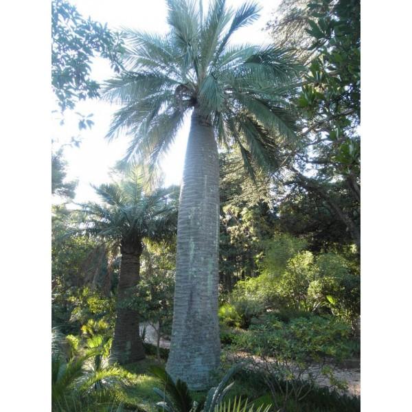 Jubaea Chilensis (Chiliean Wine Palm)