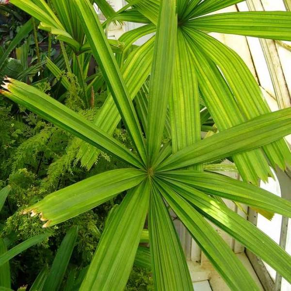 Licuala Spinosa (Mangrove Fan Palm)