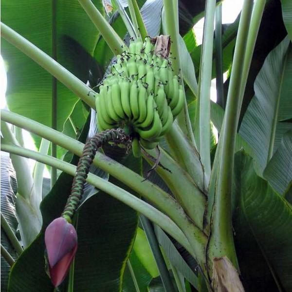 Musa Balbisiana Seeds