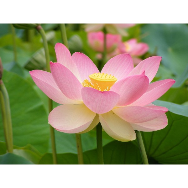 Sacred Lotus Seeds (Nelumbo Nucifera Pink Seeds) on Rarexoticseeds.com
