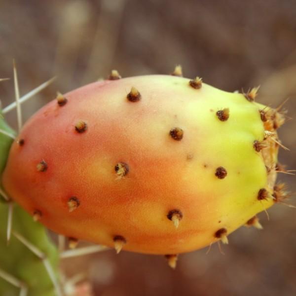 Opuntia Ficus-Indica Seeds