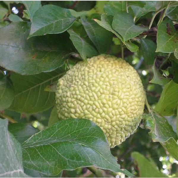 Graines Oranger des Osages (Maclura pomifera)