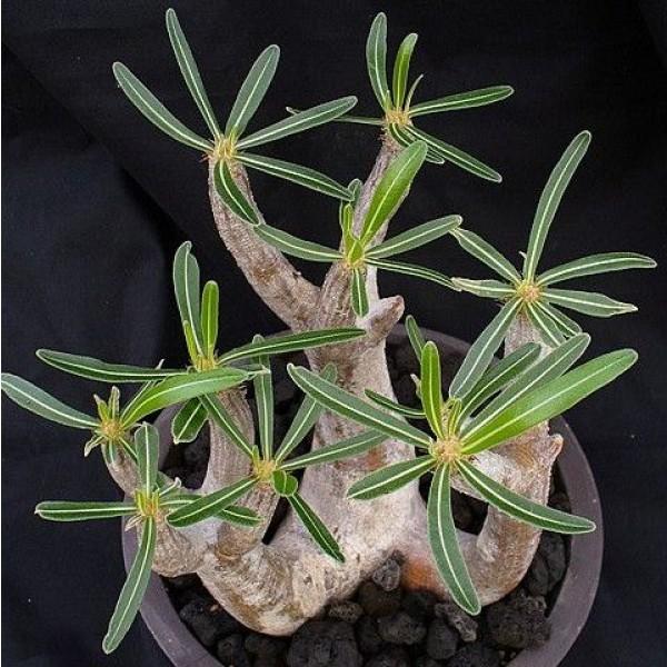 Graines Pachypodium Inopinatum