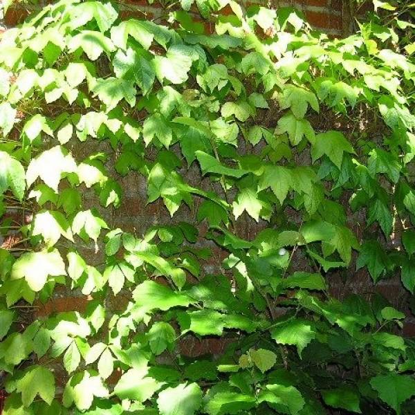 Graines Vigne-Vierge Japonaise (Parthenocissus Tricuspidata)