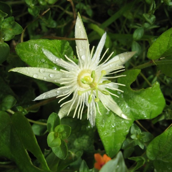 Graines Passiflora Capsularis (Fruits de la Passion, Fleurs de la Passion)