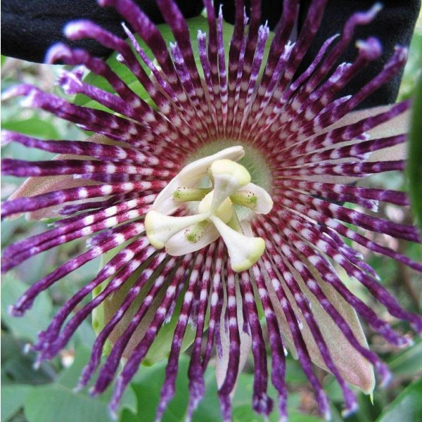 Graines Passiflora Laurifolia