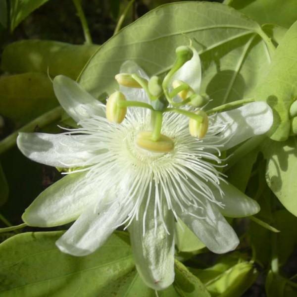 Graines Passiflora Subpeltata (Fruit de la Passion, Fleur de la Passion)