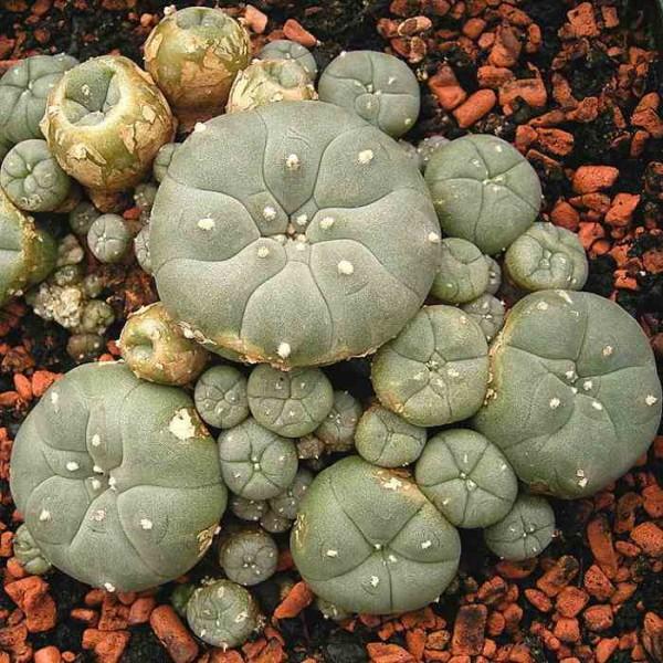 Graines Lophophora Williamsii (Graines Peyotl)