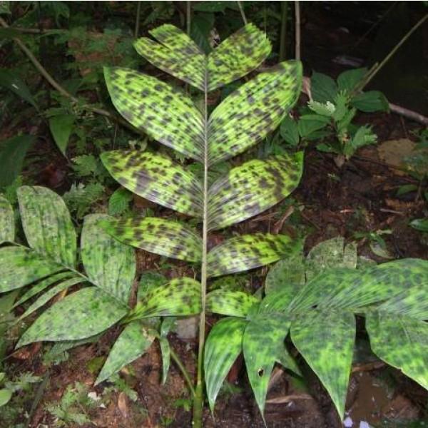 Graines Pinanga aristata
