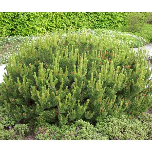 Pinus Mugo Pumilio (Pin Mugo Nain)