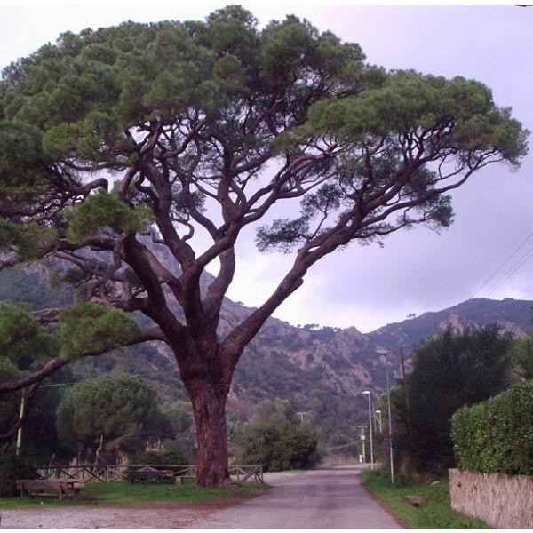 Pinus Pinea ( Pin parasol)