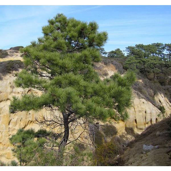 Graines Pin de Torrey (Pinus torreyana)