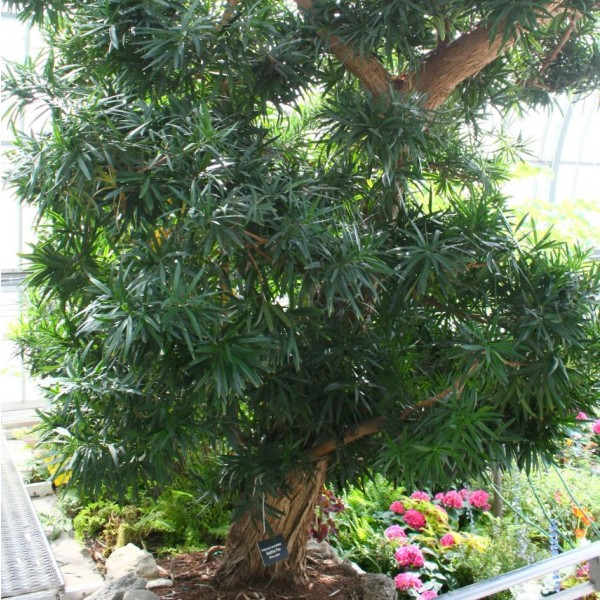 Graines Podocarpus Macrophyllus (Graines Kusamaki, Graines Inumaki)