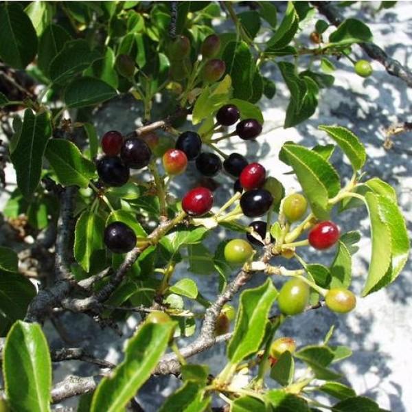 Graines Prunus Mahaleb (Graines Cerisier Mahaleb, Cerisier de Sainte Lucie)