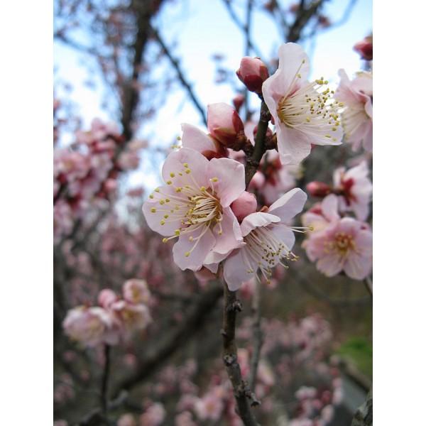 Graines Prunus Mume (Graines Pru, Graines Abricotier Japonais)