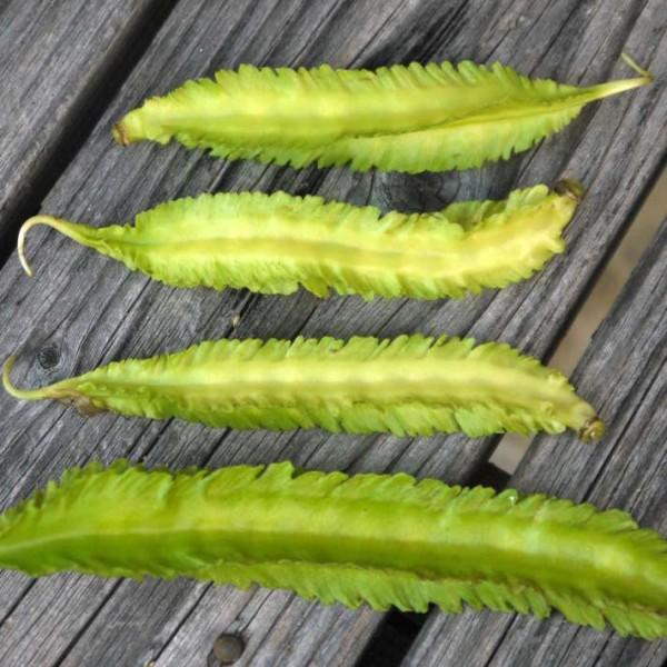 Graines Haricot Ailé (Psophocarpus tetragonolobus)