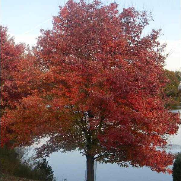 Graines Acer Rubrum (Érable Rouge du Japon)