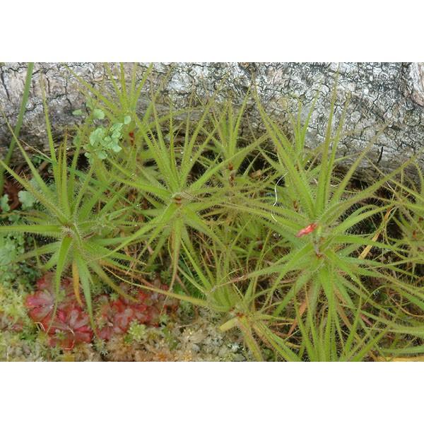 Graines Roridula Gorgonias