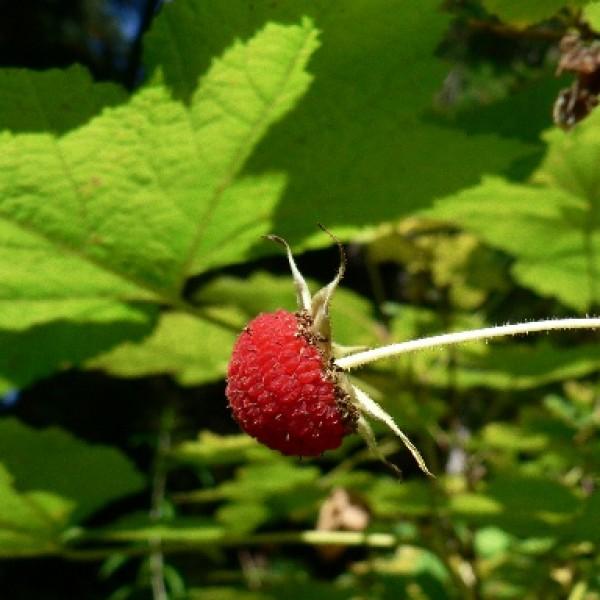 Rubus Parviflorus fruit