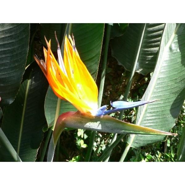 Strelitzia Reginae (Oiseau du Paradis)