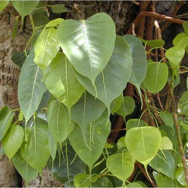 Graines Ficus Religiosa (Figuier des Pagodes, Figuier Sacré)