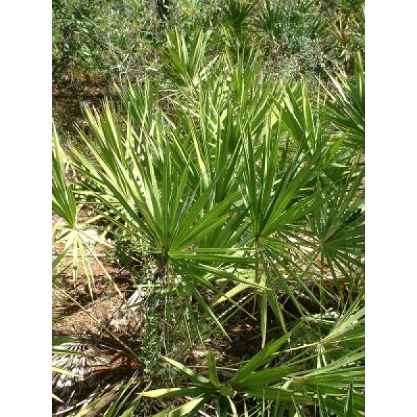 Graines Serenoa Repens Argent (Palmier de Floride)