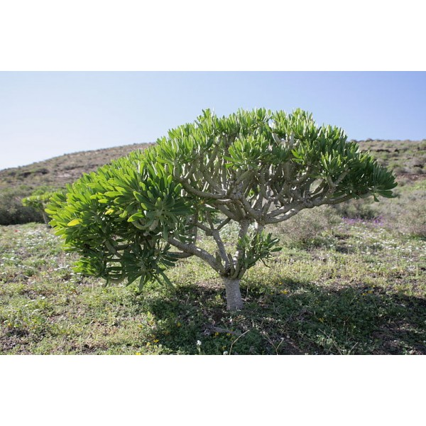 Graines Kleinia Neriifolia (Graines Senecio Kleinia)