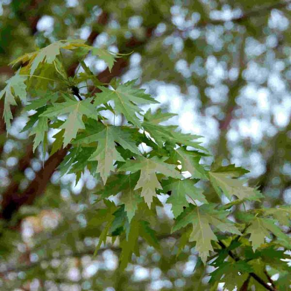 Graines Acer Saccharinum (Érable argenté)
