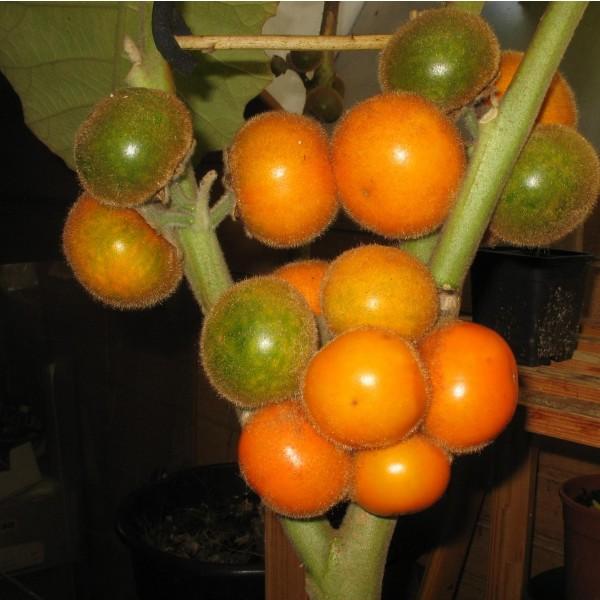 Solanum Quitoense (Narangille)