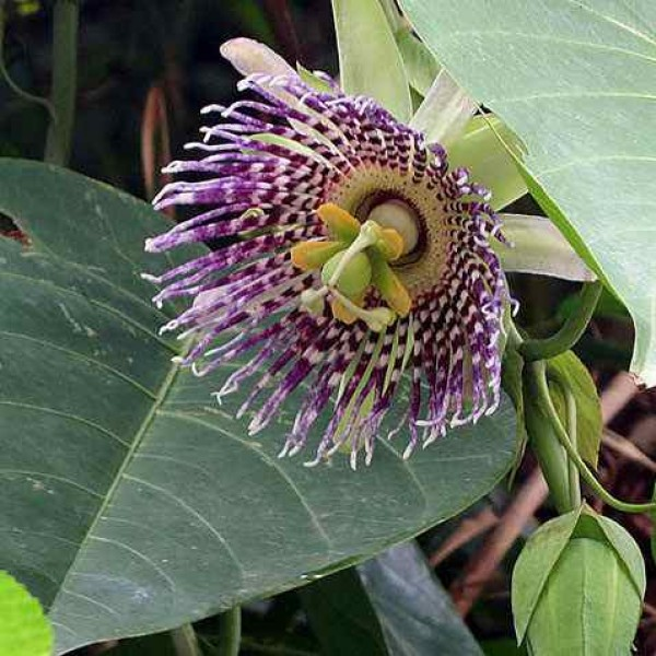 Graines Passiflora Ligularis (Grenadille Douce)