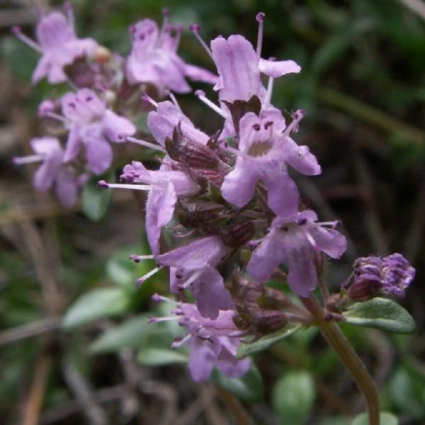 Graines Thymus Serpyllum (Graines Serpolet, Thym Serpolet)