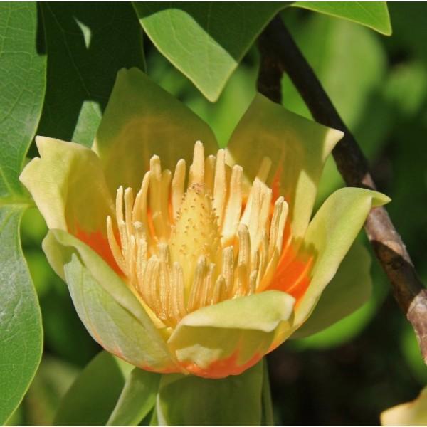 Graines Tulipier de Virginie (Liriodendron tulipifera)