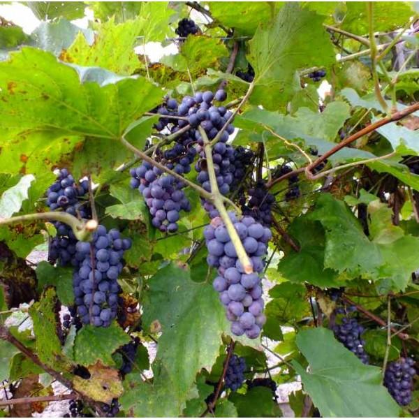 Graines Vitis Amurensis (Graines Vigne de l'Amour)