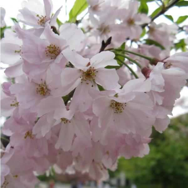 Graines Prunus Subhirtella Pendula (Graines Prunier)