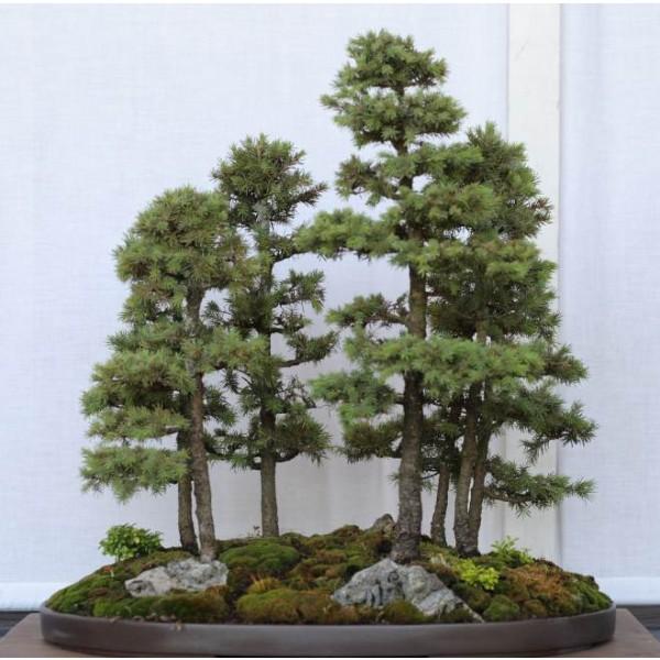 Graines Épinette blanche (Picea Glauca)