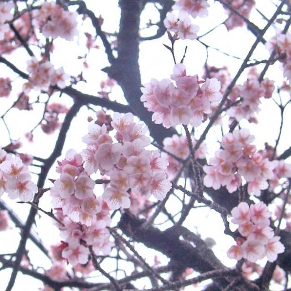 Graines Prunus Cerasoides