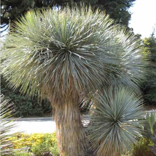 Graines Yucca Rostrata